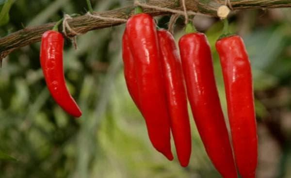 Плоды и корневища длинного перца от кашля