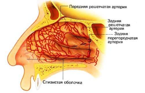 слизистая оболочка носа